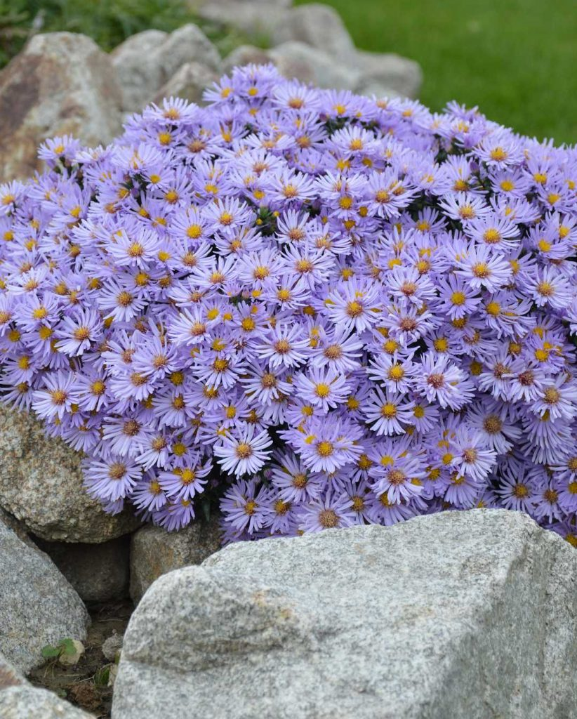 Asters cluster