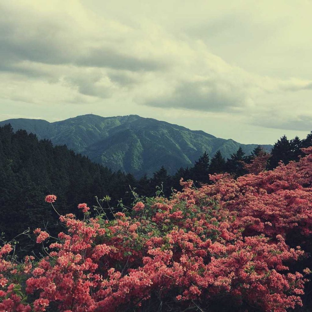 Azalea fields