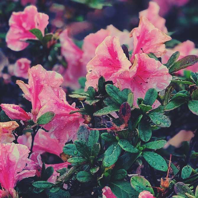 Beautiful azaleas