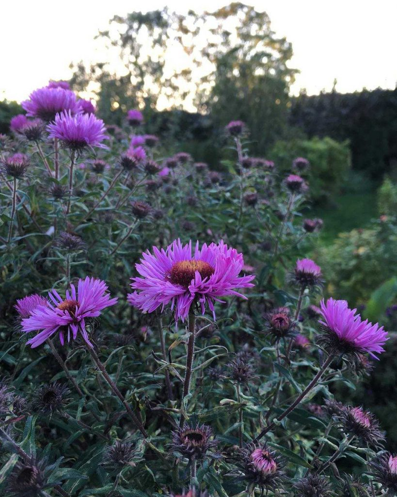 Beautiful pink asters