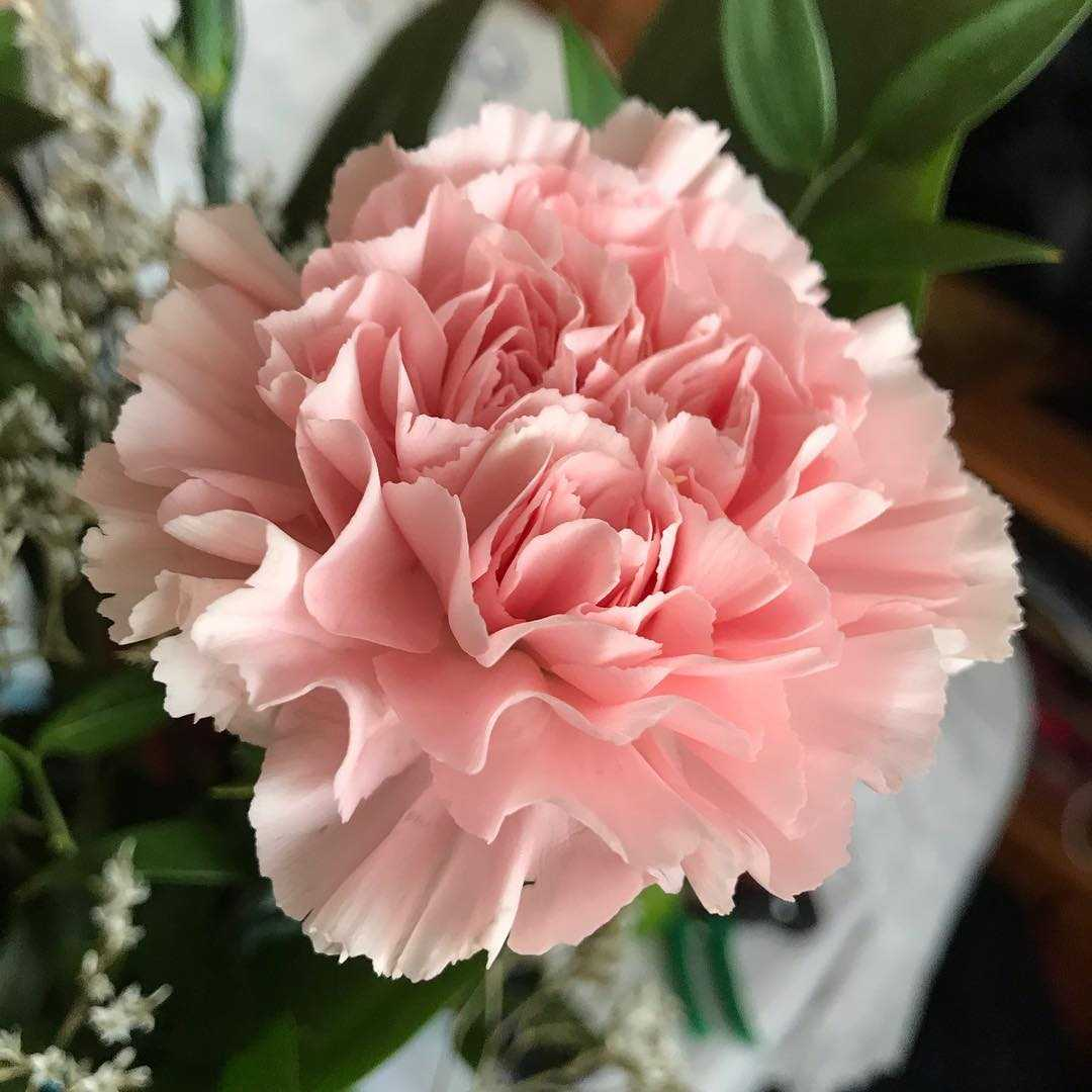 Beautiful pink carnation