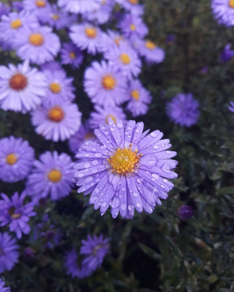 Beautiful purple asters