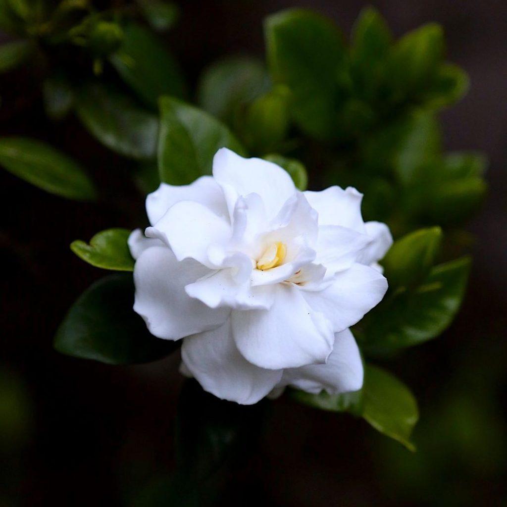 Gardenia by soyfloriate