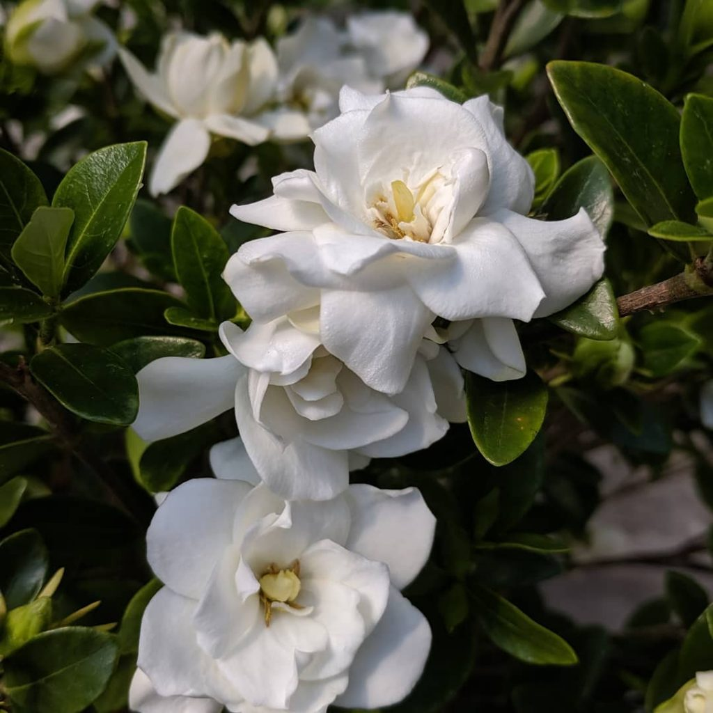 Beautiful white gardenia flower