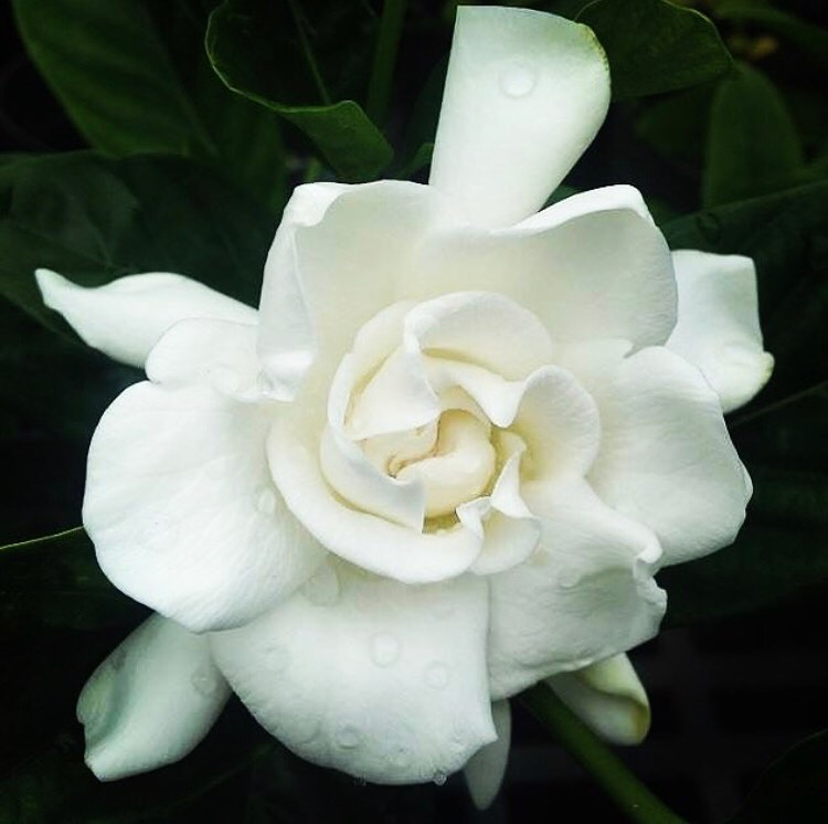 Gardenia flower meaning