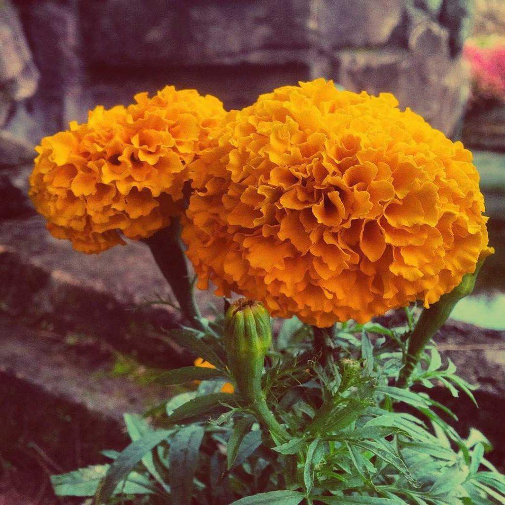 Orange cempasúchil flower meaning