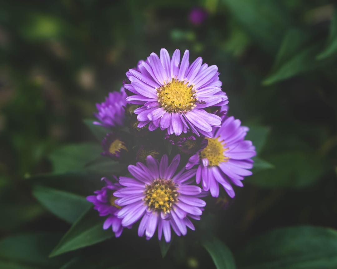 Oregon asters