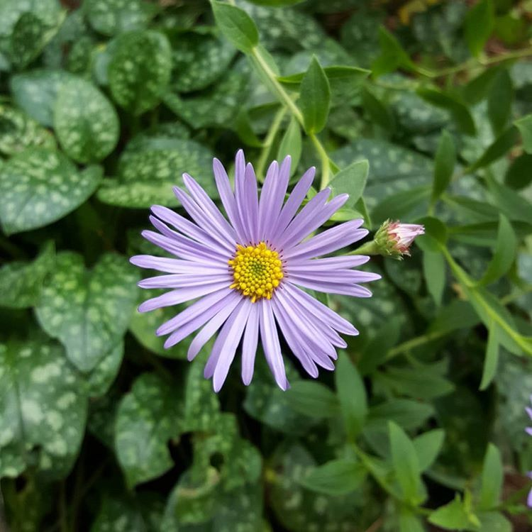 Perfect aster flower