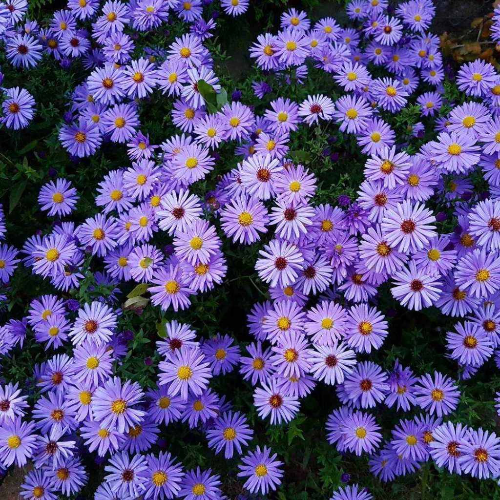 Purple aster flower meaning
