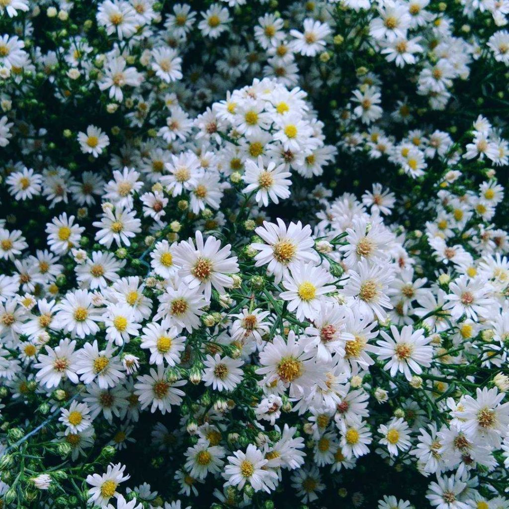 White aster flower meaning