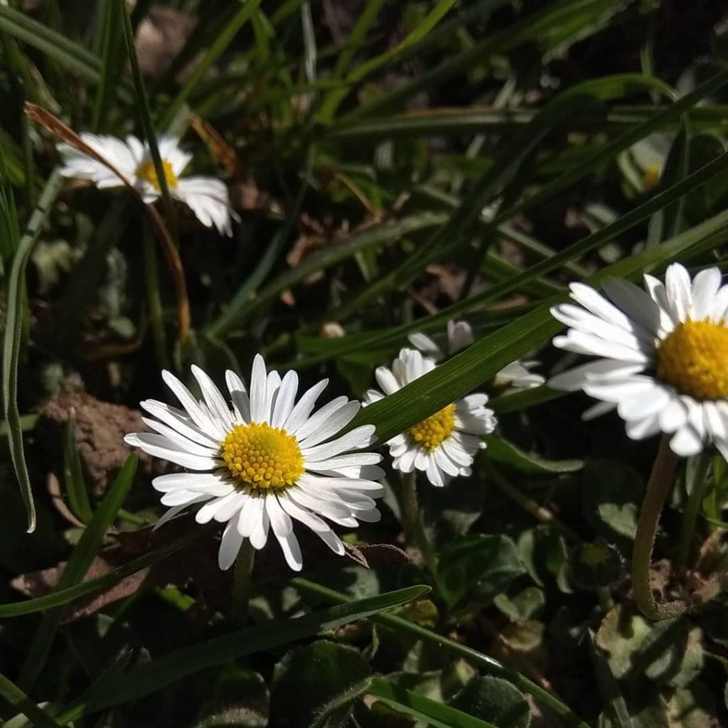 Beautiful daisy flower