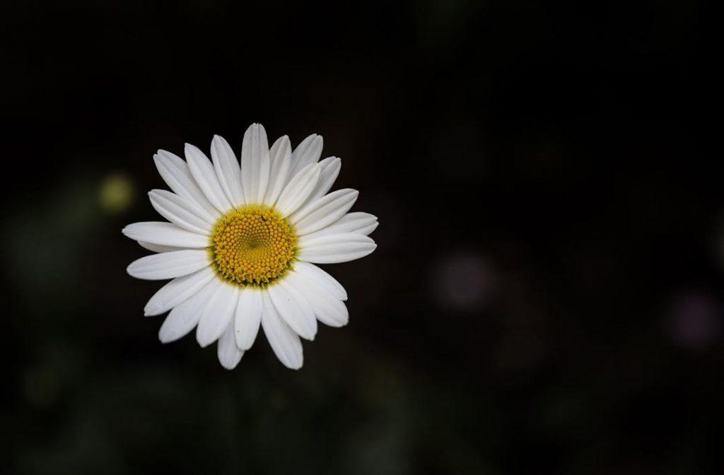 Daisy meaning