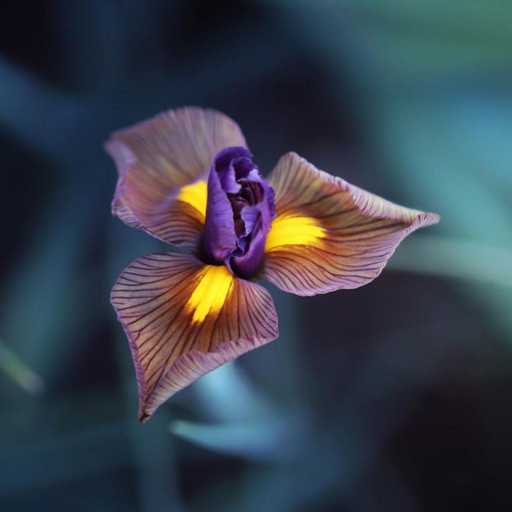 Dutch iris meaning