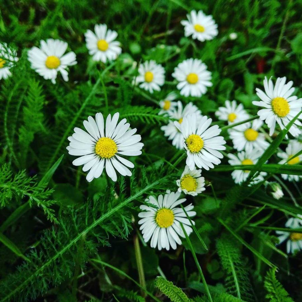White daisy flower meaning
