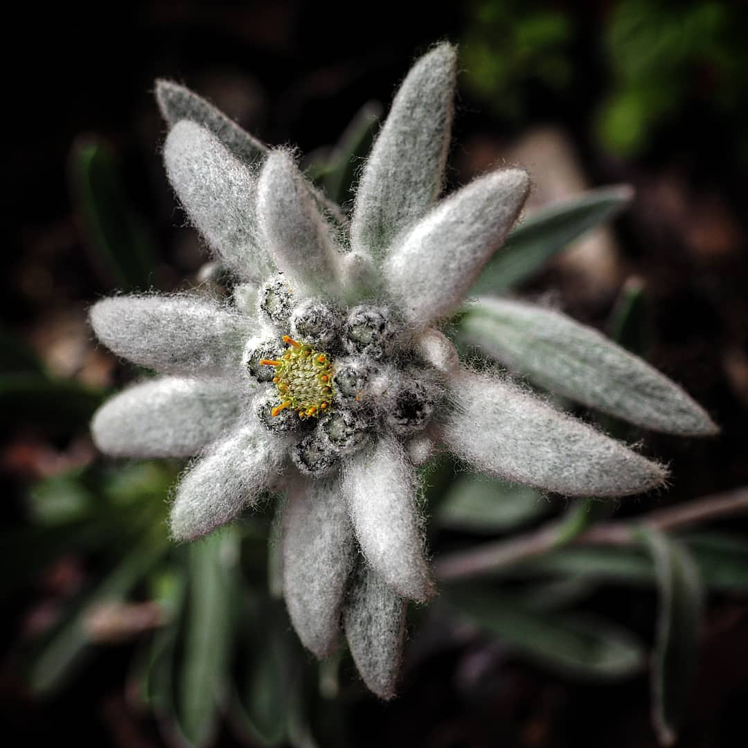 Beautiful edelweiss flower