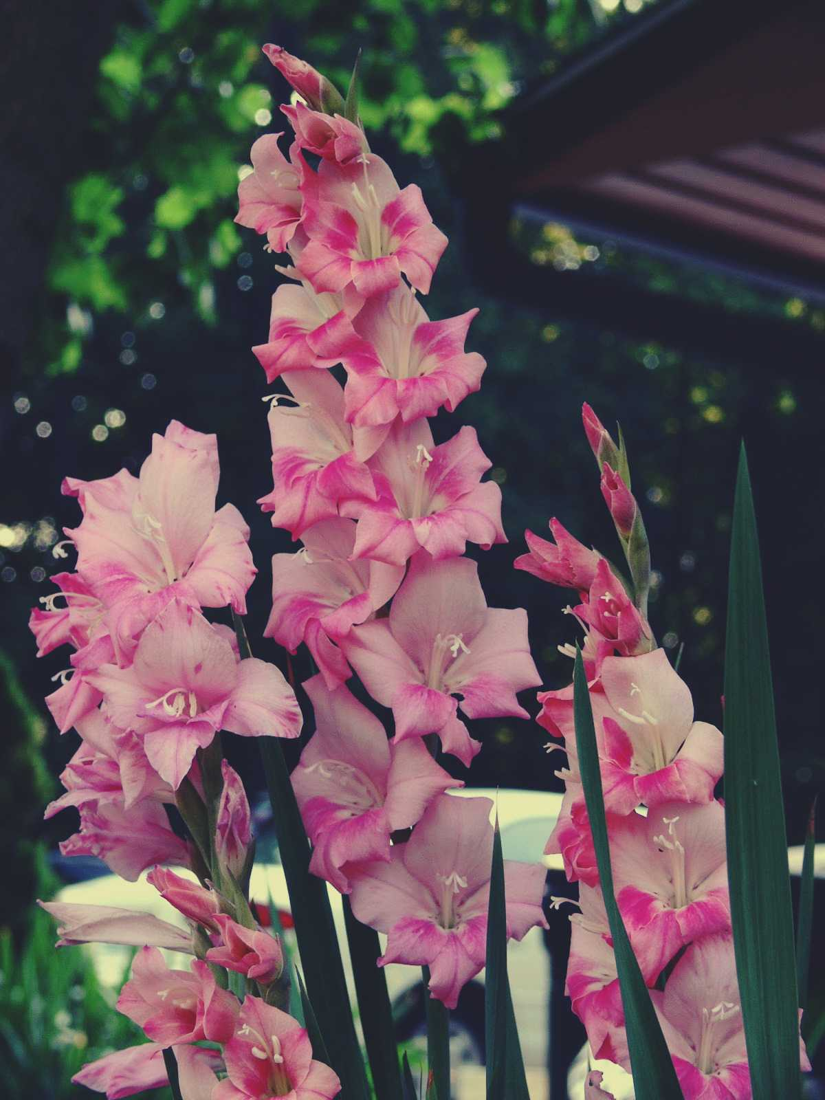 Beautiful pink gladiolus