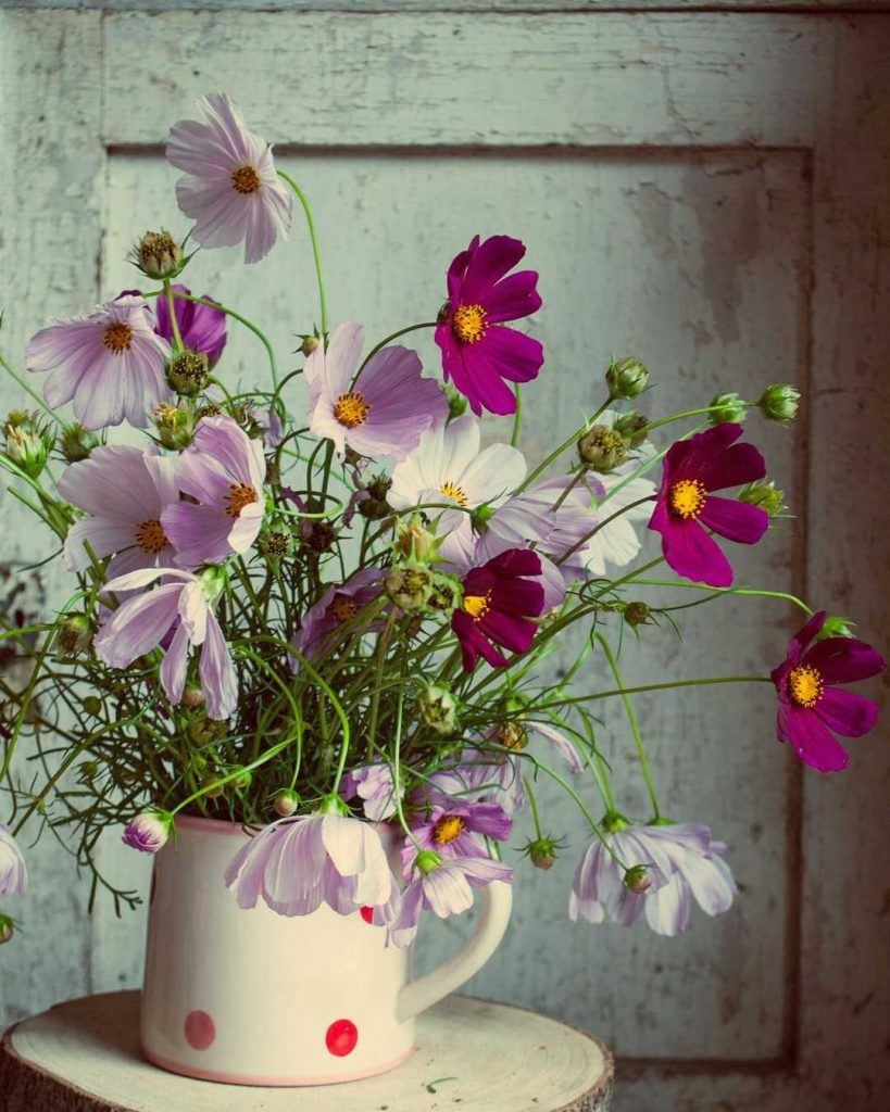 Cosmos flowers in a jug