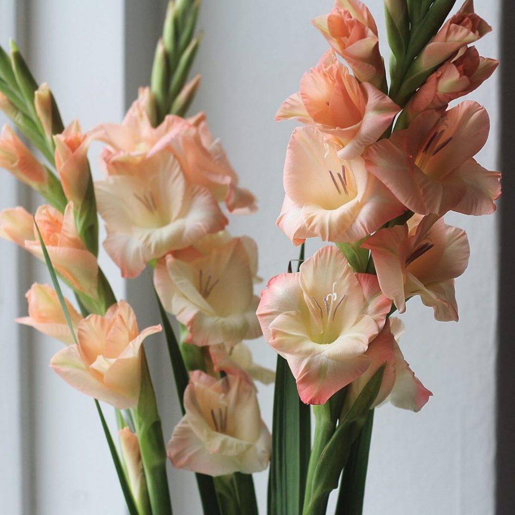Cut gladioli