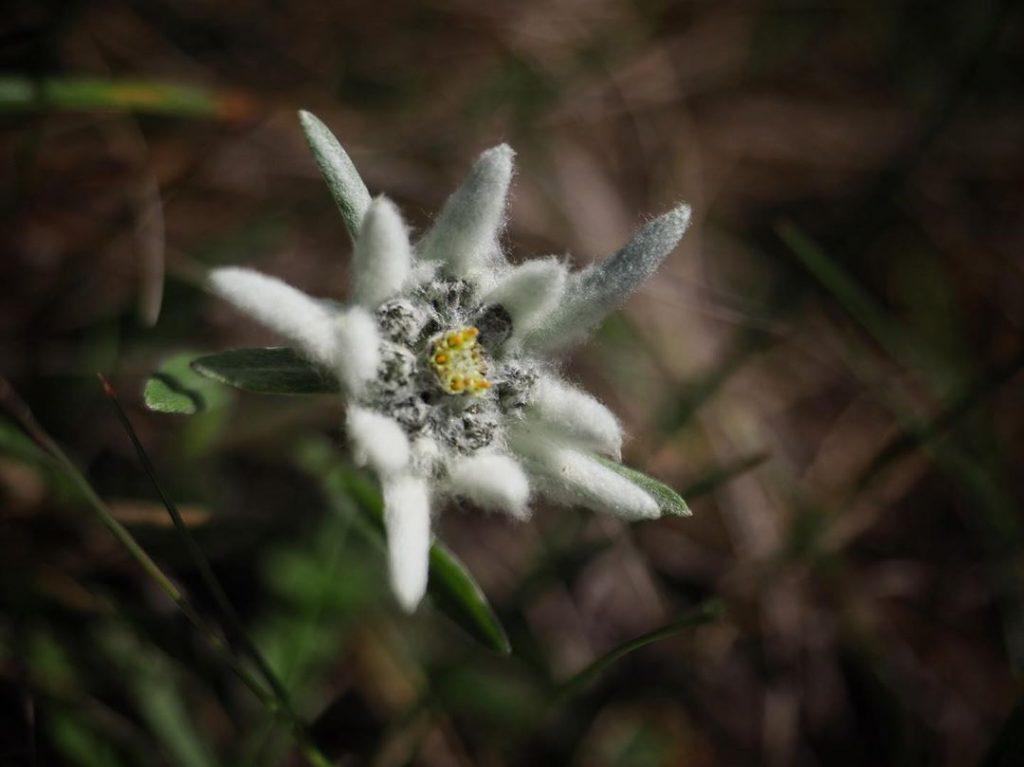 Wool flower history