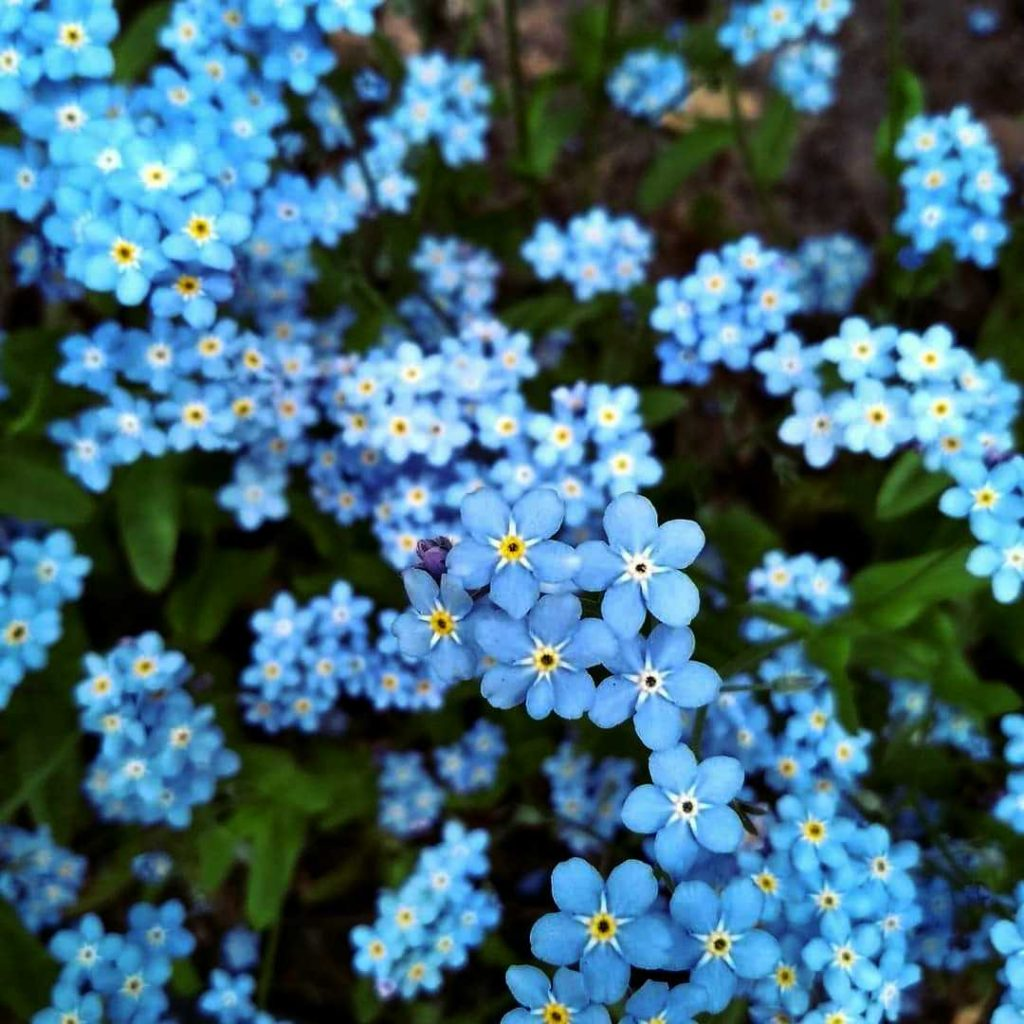 Forget me not cluster