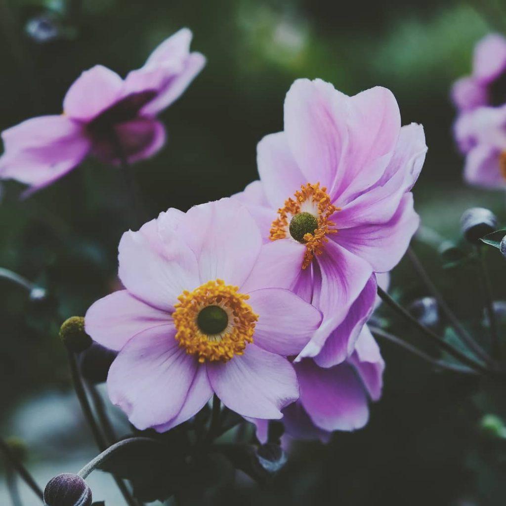 Gorgeous anemones