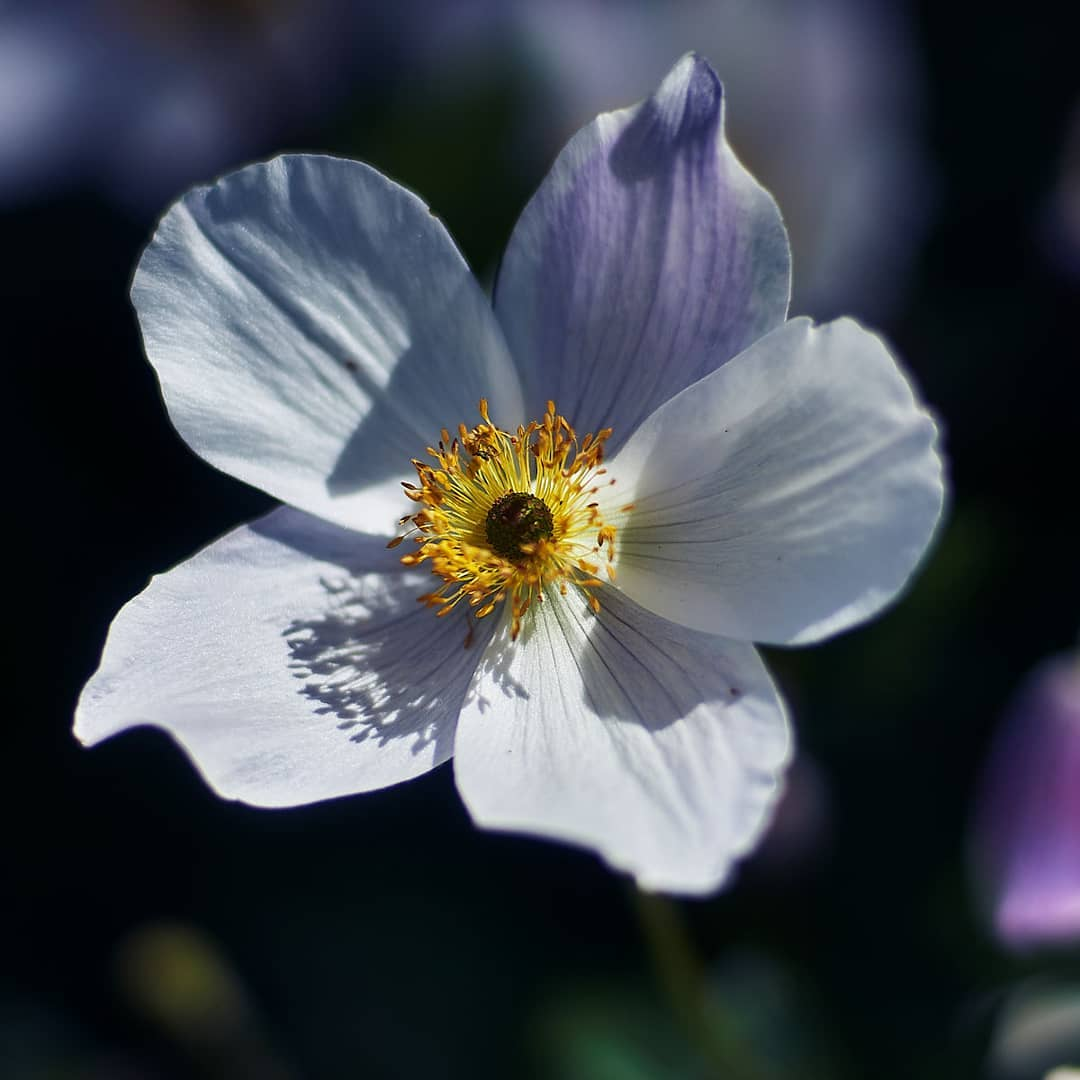 Japanese Anemone or the White Swan