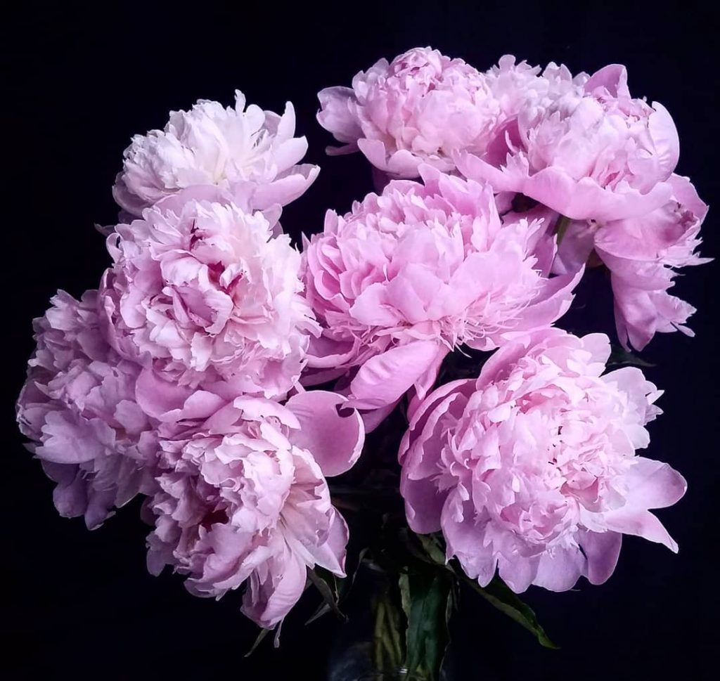 Peony flower meaning