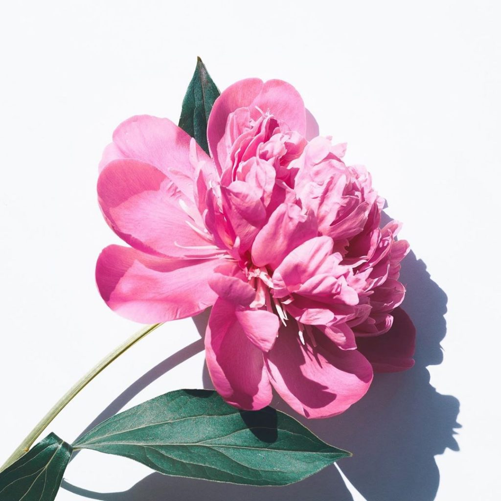 Pink peony meaning