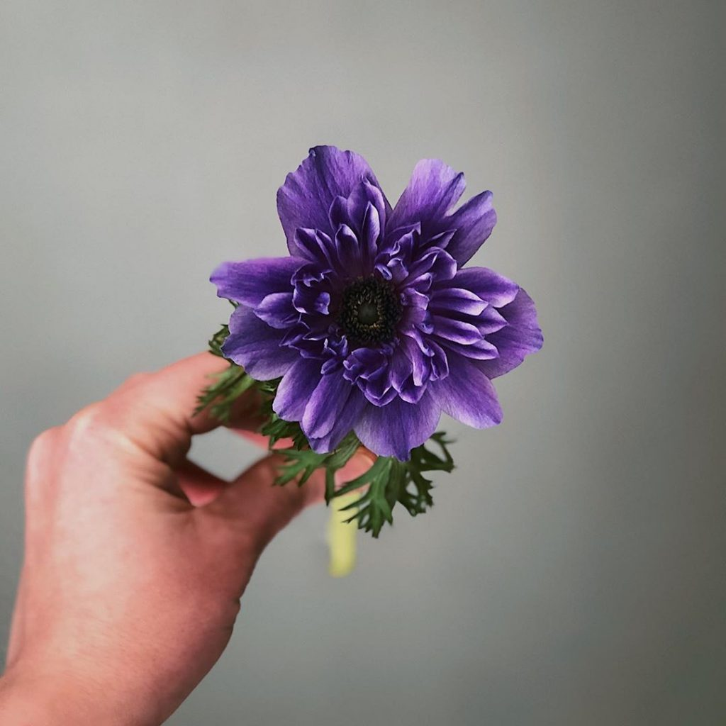 Purple anemone meaning