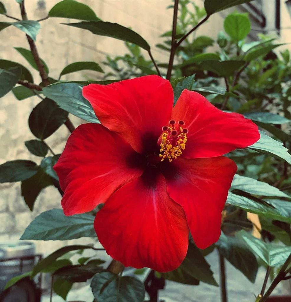 Red hibiscus flower meaning
