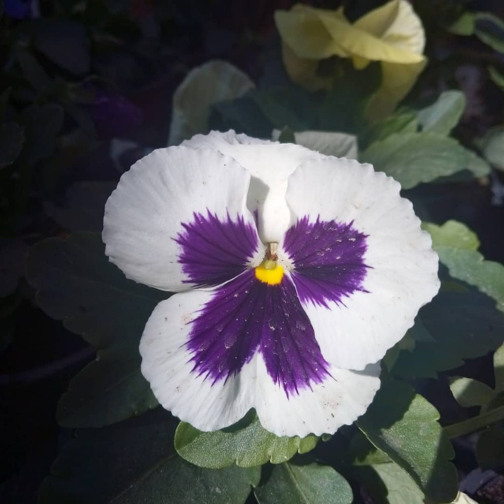 Pansy Meaning Ever Wondered What This Flower Symbolizes Let S Find Out