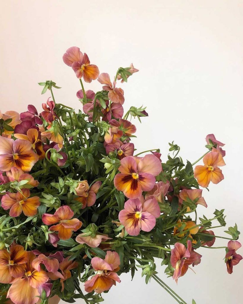 Coral and mustard yellow pansies