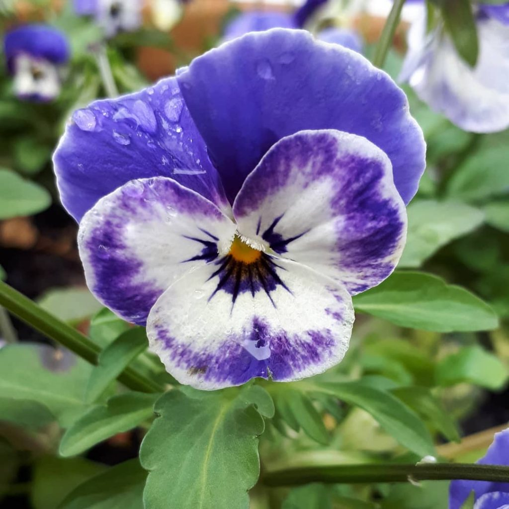 Pansy meaning