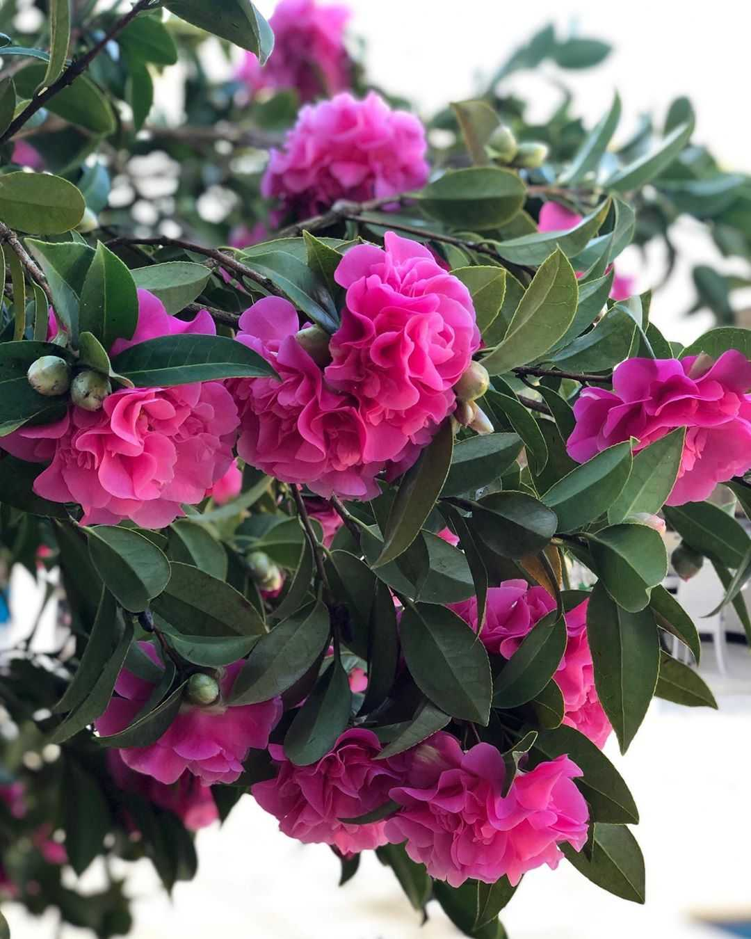Camellia Flower Meaning Learn The Symbols And Origins Of This Plant