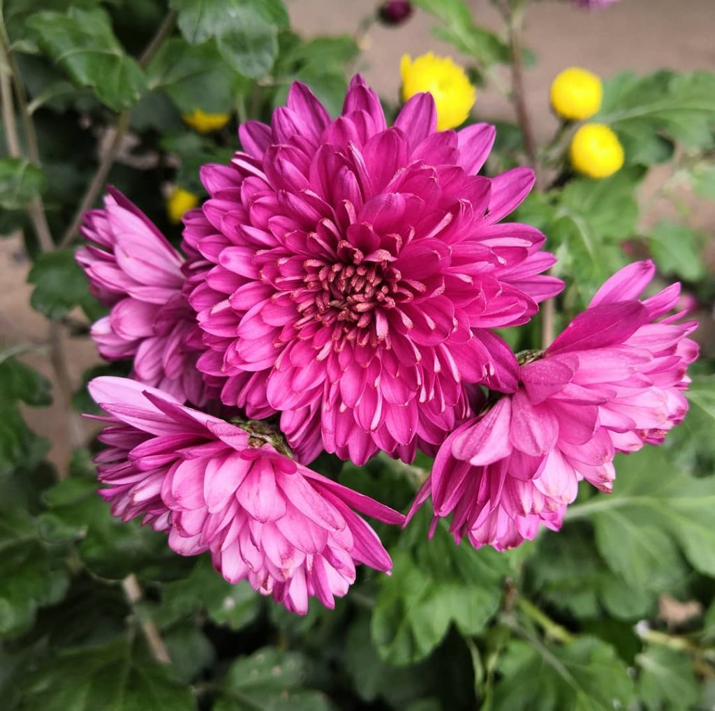 Pink chrysanthemum meaning