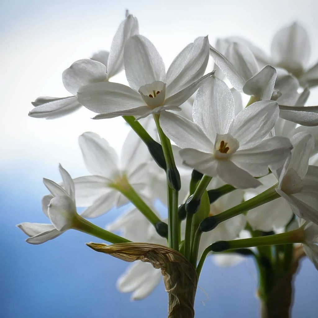 White narcissus meaning