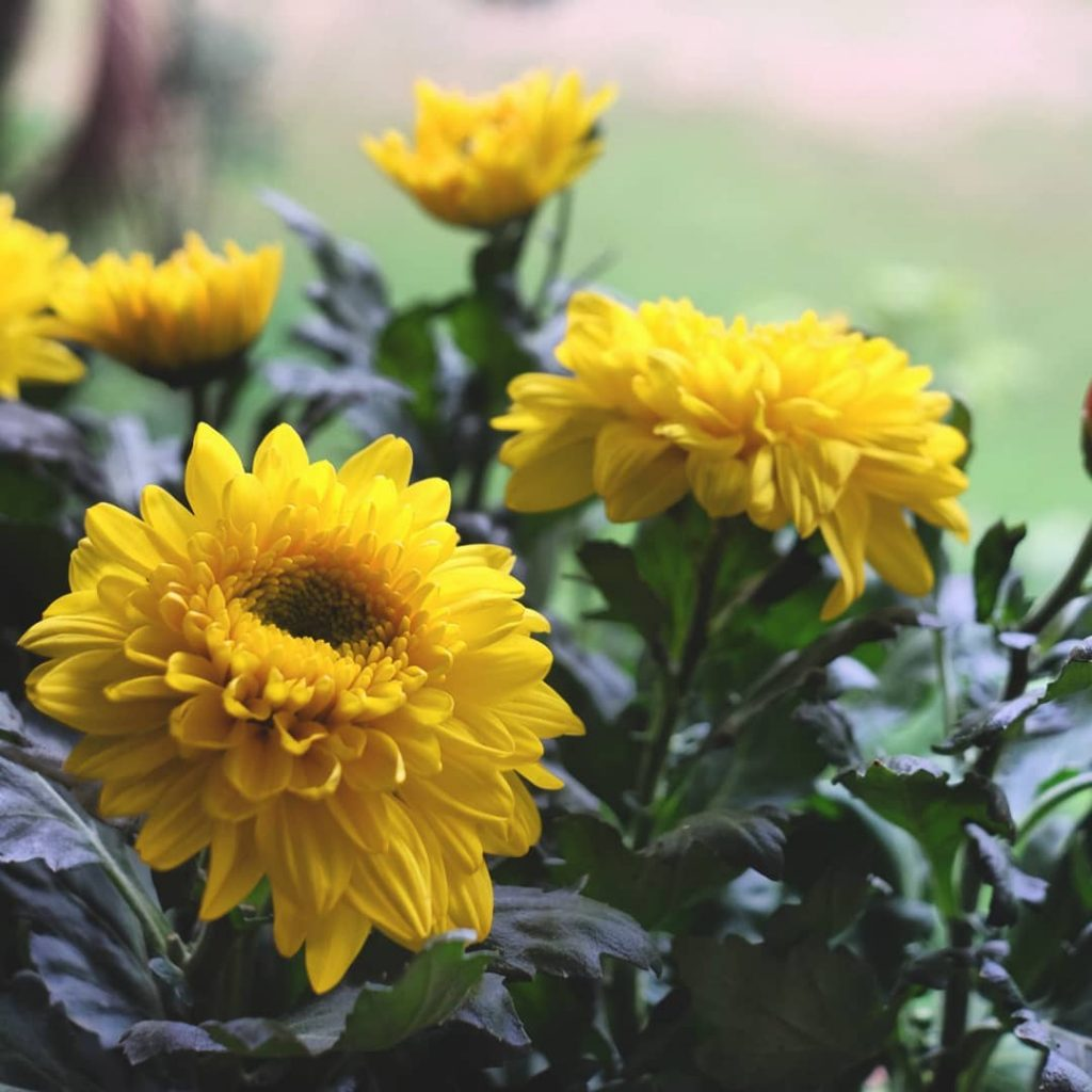 Yellow chrysanthemum meaning