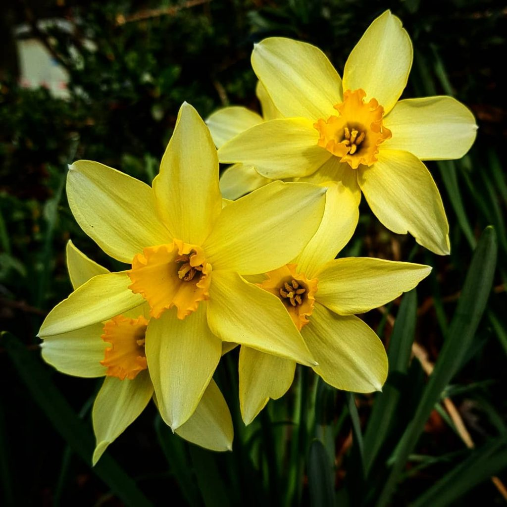 daffodil - photo #1