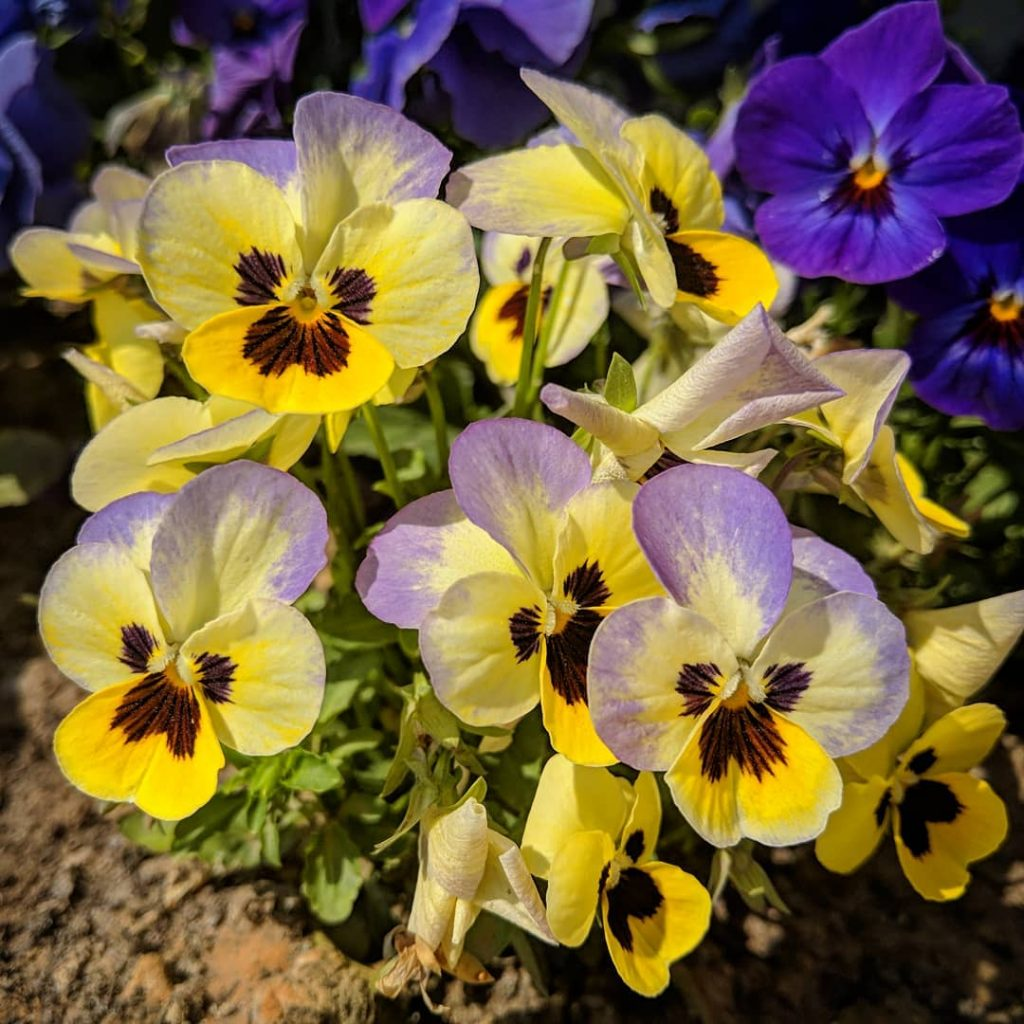 Yellow pansy meaning