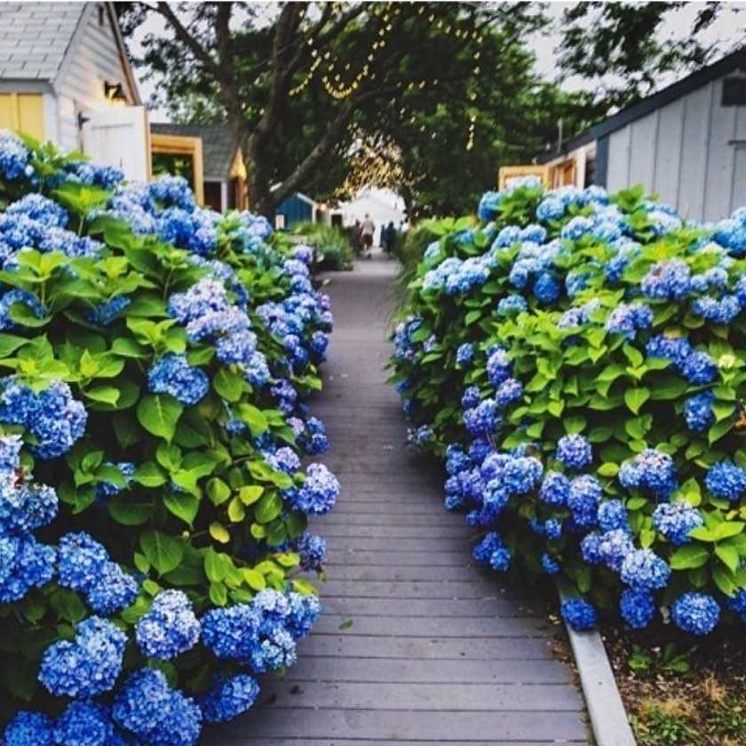 Blue hydrangea meaning