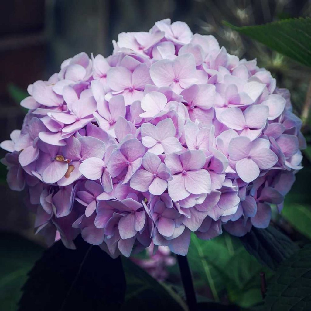 Pink hydrangea meaning