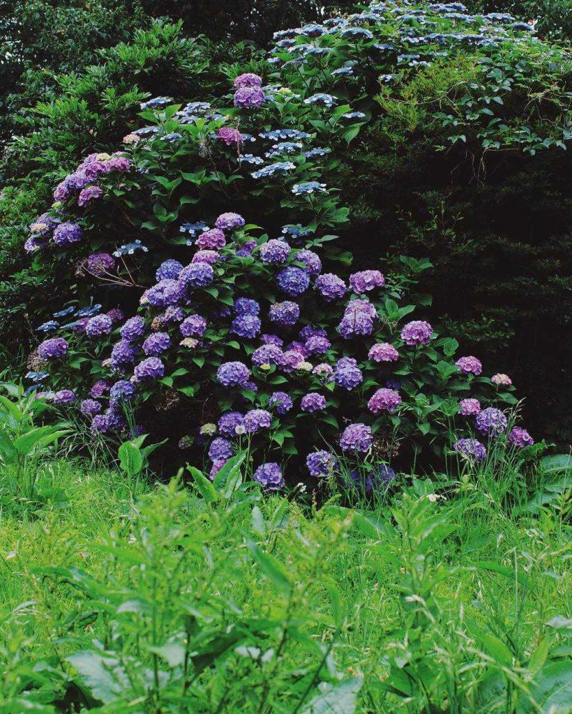 Purple hydrangea meaning