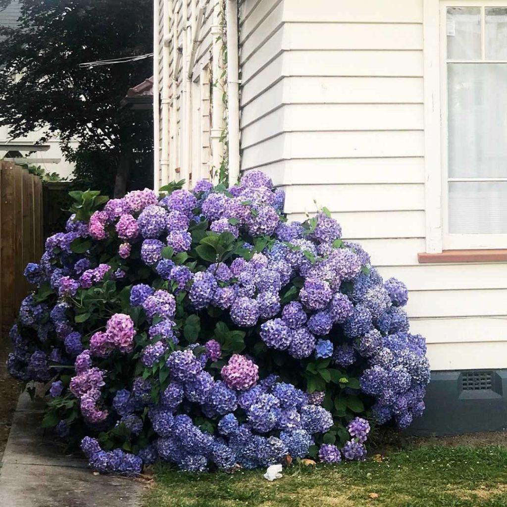 Purple hortensia shrub